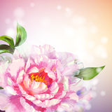 Peonies flowers background. Royalty Free Stock Image