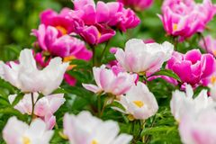 Peonies flowers in a park. Peonies bloom in May. royalty free stock photography