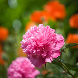 Peonies in Garden Royalty Free Stock Image
