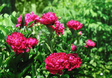 Peonies in garden Royalty Free Stock Photography