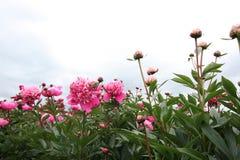 Peonies garden Stock Images