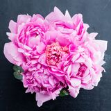 Peonies in the gift box. Pink fresh blooming peonies in the gray gift box on dark surface, flat lay Stock Image