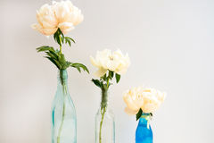 Peonies in Glass Bottles. Three Peonies each in a Glass Bottle on White Background with Space for Text Royalty Free Stock Photo