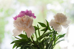 Peonies on green background Royalty Free Stock Photos