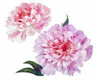 Peonies isolated on white royalty free illustration