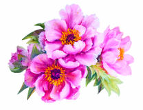 Peonies isolated on white Stock Image