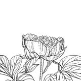 Peonies line art background Royalty Free Stock Photo