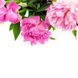 Peonies natural background Royalty Free Stock Photography