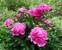 Peonies in a natural setting. Blooming peony bush surrounded by variegated red twig dogwood bush in a well tended but naturalized cottage garden stock photography