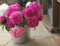 Peonies in pail. Pink and white peonies in zinc coated metal pail on the floor of the room stock photos