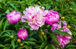 Peonies. peony flowers. sprig of blooming peony flowers. bloomin Royalty Free Stock Photo