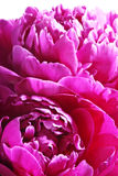 Peonies petals Royalty Free Stock Photography