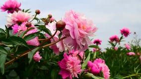 Peonies pink flowers stock video footage