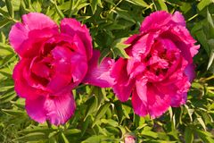 Peonies Stock Photography