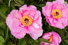 Peonies Royalty Free Stock Images