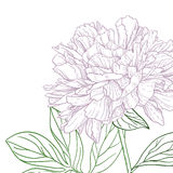 Peonies pink and green line art Stock Photography