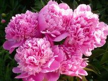 Peonías rosadas fotografía de archivo