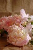 Peonies rosados Imagenes de archivo