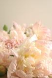 Peonies rosados Foto de archivo