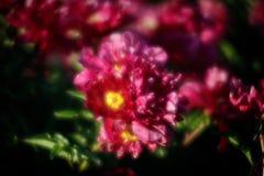 Peonies rosados en el jardín Foto de archivo