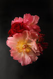 Peonies and Roses Royalty Free Stock Photography