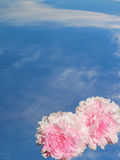 Peonies in the sky. A pair of pink peony flowers in the sky stock image