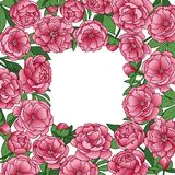 Peonies Squared Frame Stock Photography