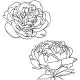 Peonies. Two flowers peonies drawing  linework Royalty Free Stock Photos