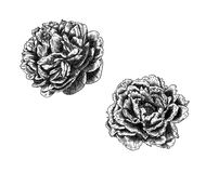 A sketch of a beautiful wreath of flowers peonies. Two flowers peonies made strokes Stock Image