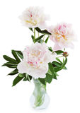 Peonies in a vase Stock Photo