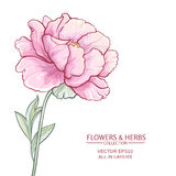 Peonies. Vector illustration with  peony on white background Stock Photo
