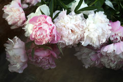 Peonies in water. Pink and white peonies are in the water stock image
