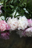 Peonies in water. Pink and white peonies are in the water royalty free stock photography