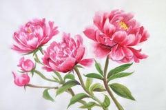 Peonies watercolor painting Stock Image