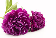 Peonies on White Background Royalty Free Stock Images