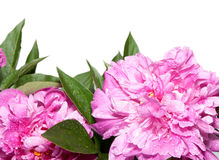 Peonies on White Background Royalty Free Stock Photos
