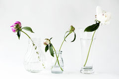 Peonies on a white background. Peonies in bottles on a white background royalty free stock image