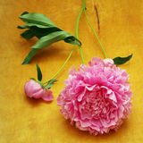 Peonies on a wooden Stock Image