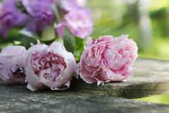 Peonies on wooden plank Stock Image
