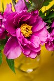 Peonies on yellow background, close up stock photography