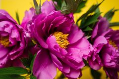 Peonies on yellow background, close up stock photo
