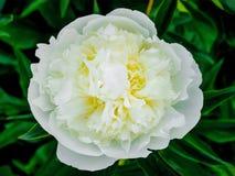 Peonieslut för vit blomma upp Dekorativ vår- och sommarflowers_ arkivfoton