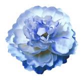 Peony άσπρος-μπλε λουλουδιών Watercolor σε ένα απομονωμένο λευκό υπόβαθρο με το ψαλίδισμα της πορείας Φύση Κινηματογράφηση σε πρώ Στοκ Φωτογραφίες