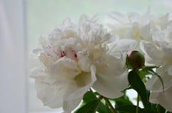 Peony λευκό άνθισης Στοκ φωτογραφία με δικαίωμα ελεύθερης χρήσης