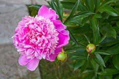 peony λευκό λουλουδιών ανασκόπησης Στοκ φωτογραφίες με δικαίωμα ελεύθερης χρήσης
