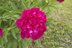 peony λευκό λουλουδιών ανασκόπησης στοκ φωτογραφίες