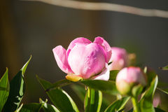 peony λευκό λουλουδιών ανασκόπησης Στοκ φωτογραφία με δικαίωμα ελεύθερης χρήσης