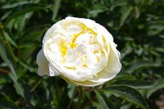 peony λευκό λουλουδιών ανασκόπησης Στοκ Εικόνες