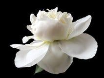 peony λευκό Στοκ φωτογραφία με δικαίωμα ελεύθερης χρήσης