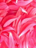 peony πέταλα λουλουδιών Στοκ φωτογραφία με δικαίωμα ελεύθερης χρήσης